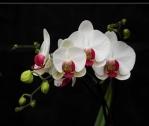 as cores soberanas das orquideas