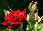 velhas roseiras jroman