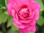 a parabola da rosa