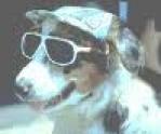 um cão da raça fila