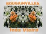 bougainvillea ines vieira 235