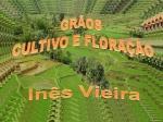 iv grãos cultivo e floração