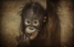 o macaco