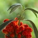 a flor rara
