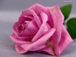a rosa de saron